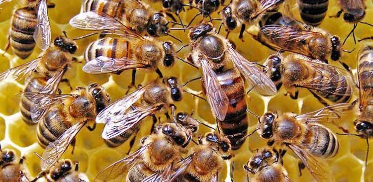 Abeilles miel - Qu est ce qui fait fuir les abeilles ...